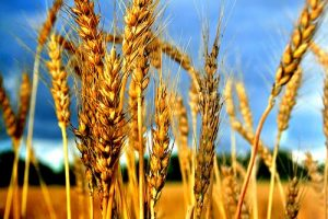 wheat-by-bernat